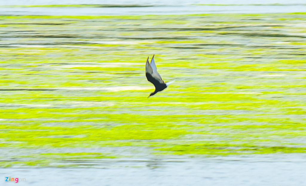 """Một chú chim lao mình xuống mặt nước dày đặc rêu xanh """"săn mồi""""."""