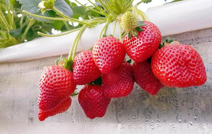 Vườn dâu tây trĩu trái đỏ mọng thuộc giống dâu tây Mỹ, trái to ngọt và trông rất đẹp mắt.