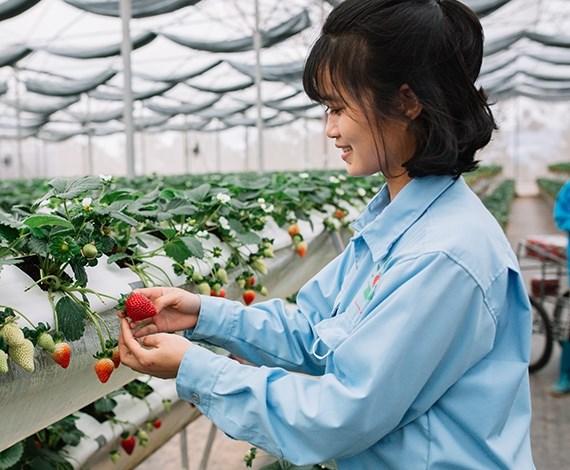 Công nhân thu hoạch dâu