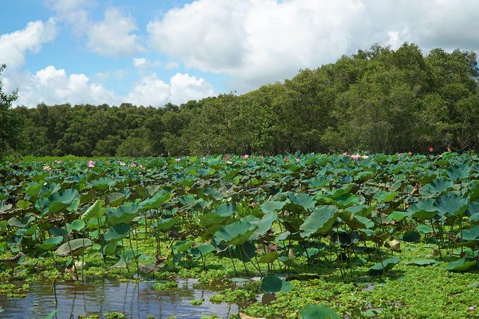 Rừng tràm Trà Sư có diện tích gần 850 ha, nằm ở huyện Tịnh Biên, tỉnh An Giang. Đến đây vào mùa này, du khách sẽ được ngắm những bông sen nở rộ. Tuy nhiên, sen không khoe sắc thành cánh đồng lớn mà chỉ theo khóm nhỏ, rải rác khắp các lối đi vào vùng lõi của rừng.