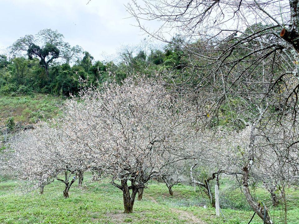 Hoa mận Mộc Châu đang nở rộ đẹp rung động lòng người