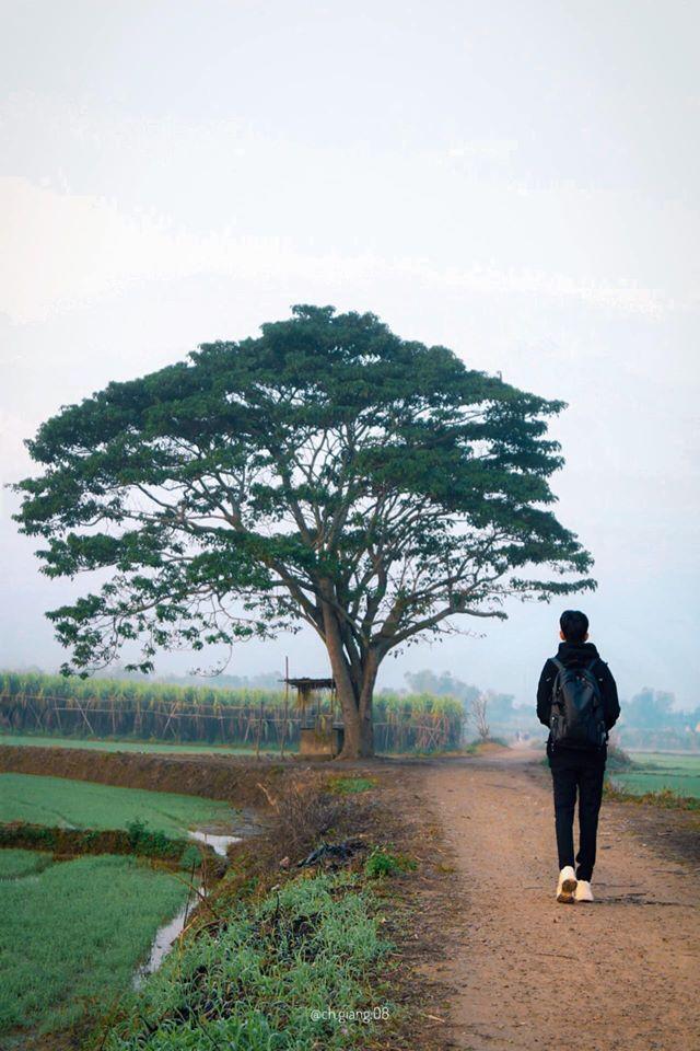 CÂY NGÔ ĐỒNG Tọa lạc tại tại xóm Chùa, thôn Hà Cảng, xã Quảng Phú, huyện Quảng Điền cách trung tâm thành phố Huế khoảng 15km Trường Đo Đo cũng gắn đó khoảng 600 m Kết hợp đi với Phá Tam Giang