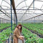 vuon dau nha ga da lat, vườn dâu nhà gà đà lạt, vườn dâu new zealand đà lạt, vườn dâu biofresh đà lạt