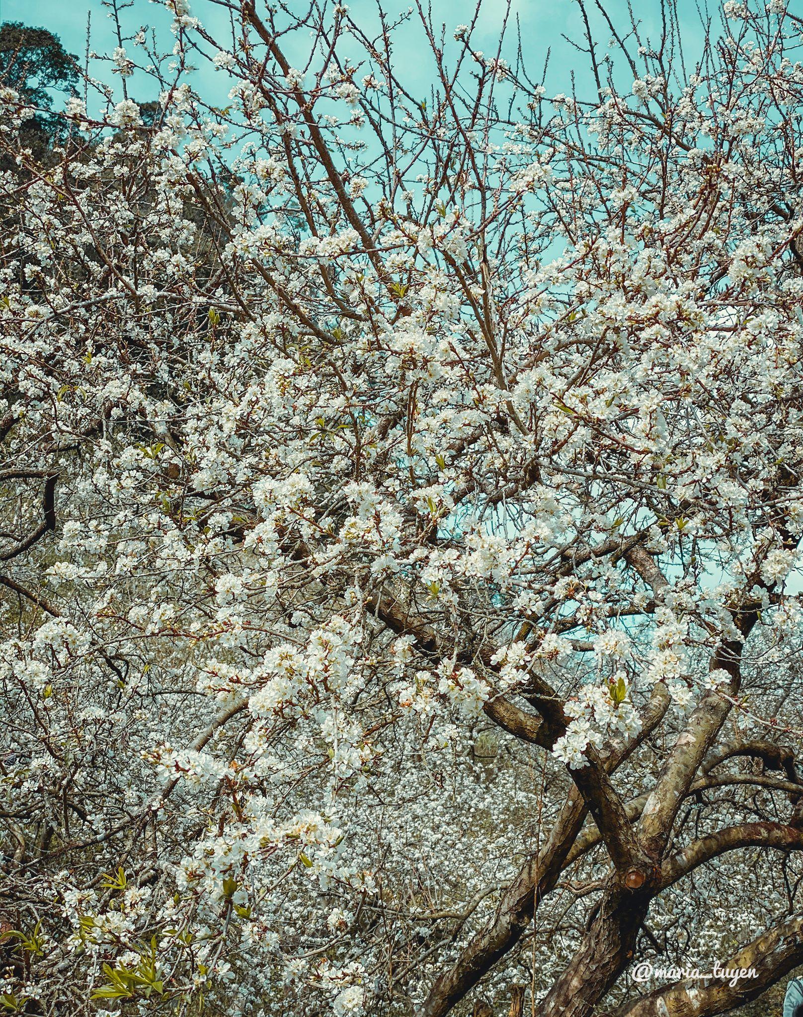 Rừng Mơ Km82 – Thung Lũng Mận Mu Náu