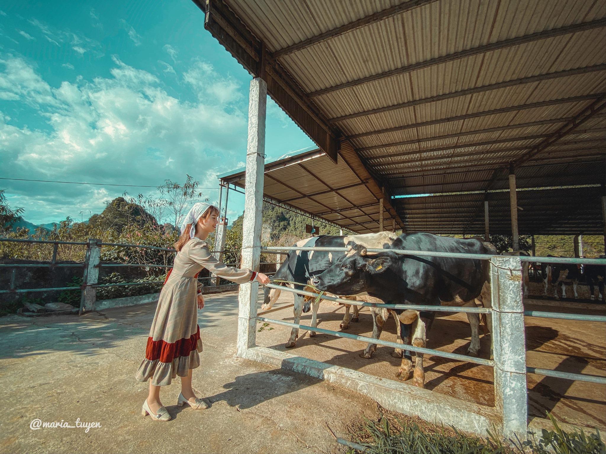 Trang Trại Bò Sữa Dairy Farm