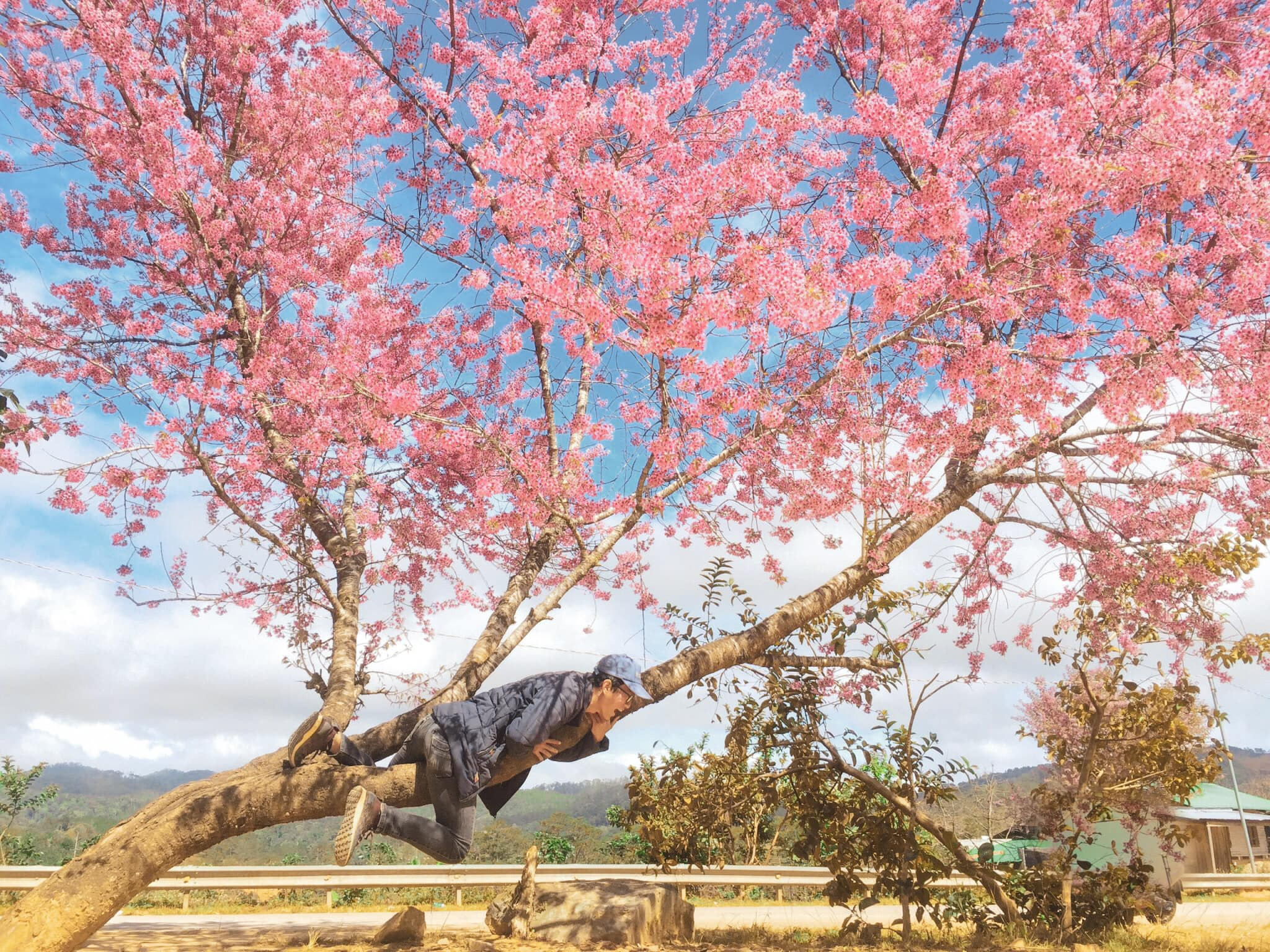 Đà Lạt, mùa hoa mai anh đào, du lịch đà lạt tháng 12, có một nhật bản giữa lòng đà lạt, penthouse ở trên đà lạt, đà lạt tháng 12