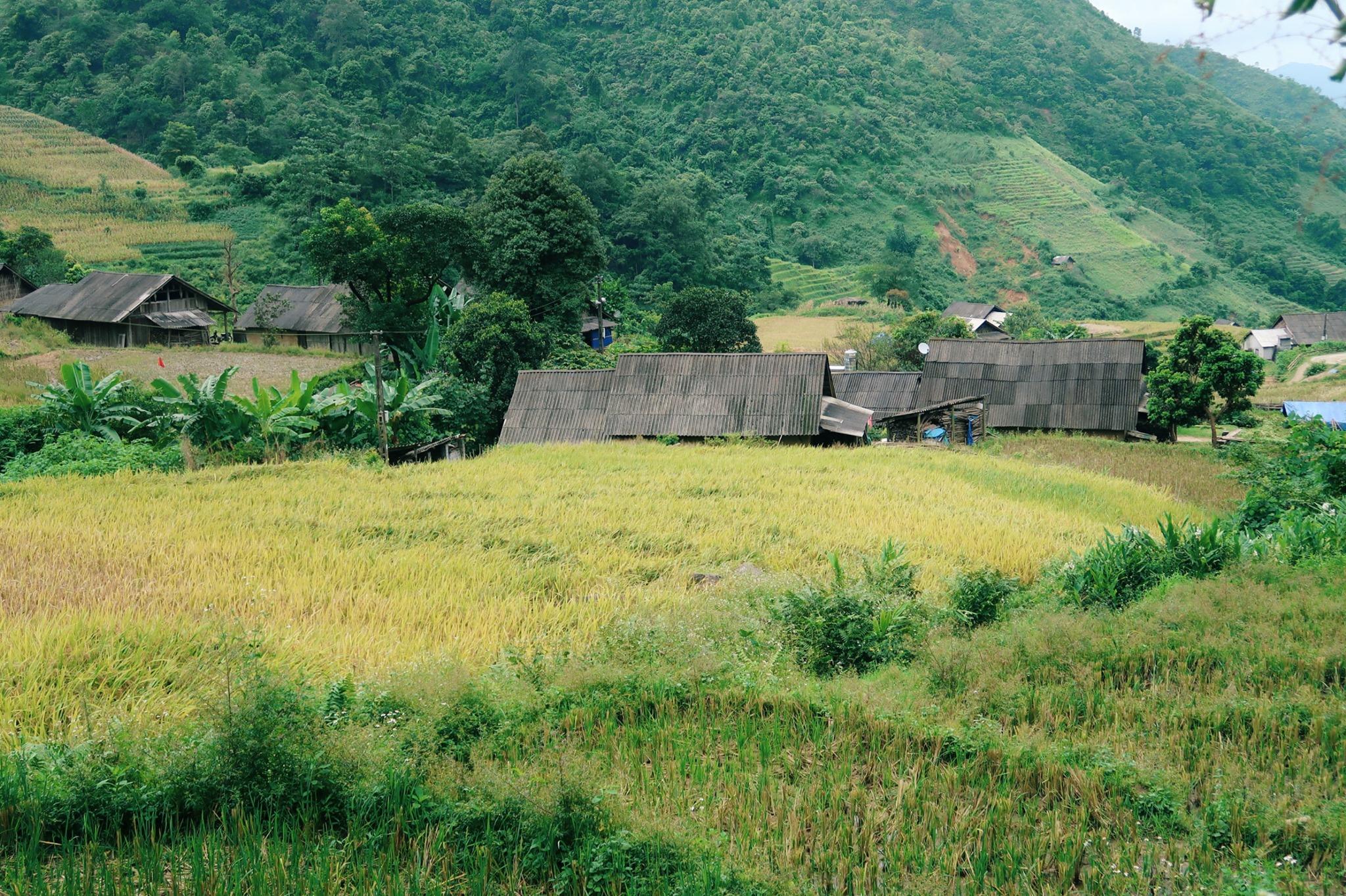 Lúa vàng xen lẫn những căn nhà đơn sơ