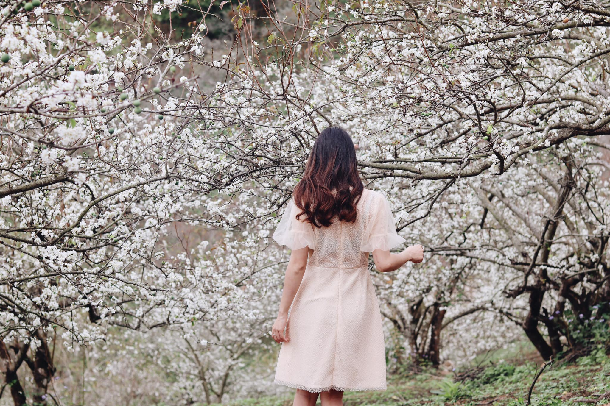 Review Mộc Châu – Vùng đất của những loài hoa trắng